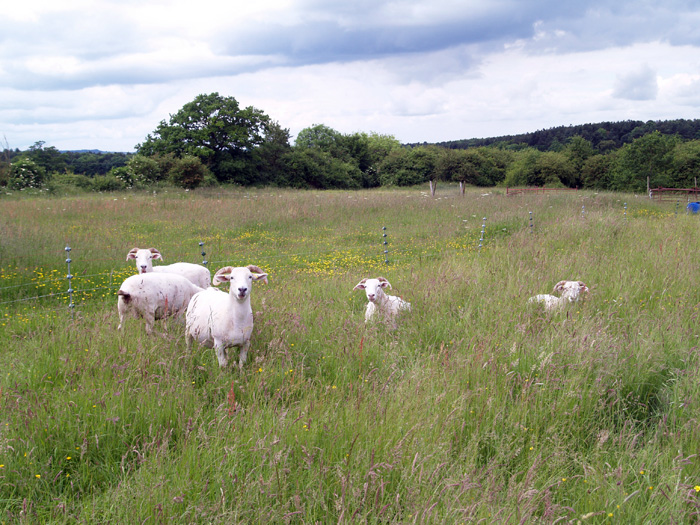 The Noakes Grove sheep: Wiltshire Horn ewes